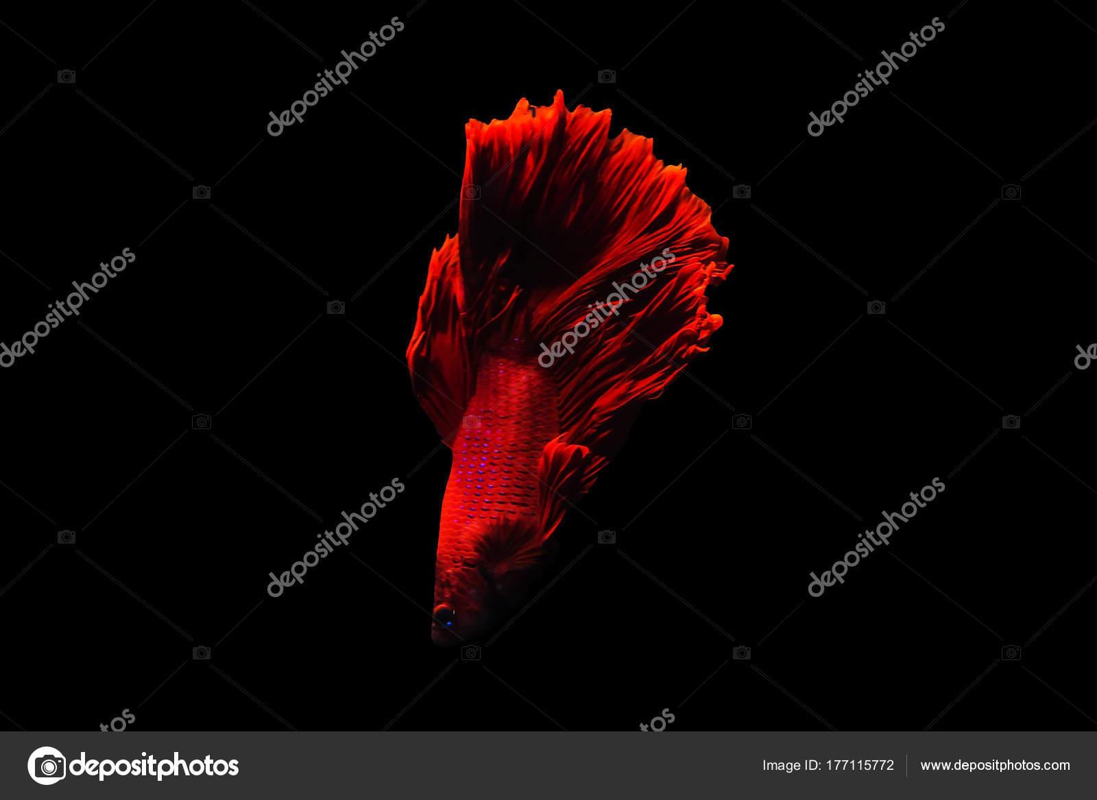 Betta fish Halfmoon Betta moving moment beautiful fish in tha ...