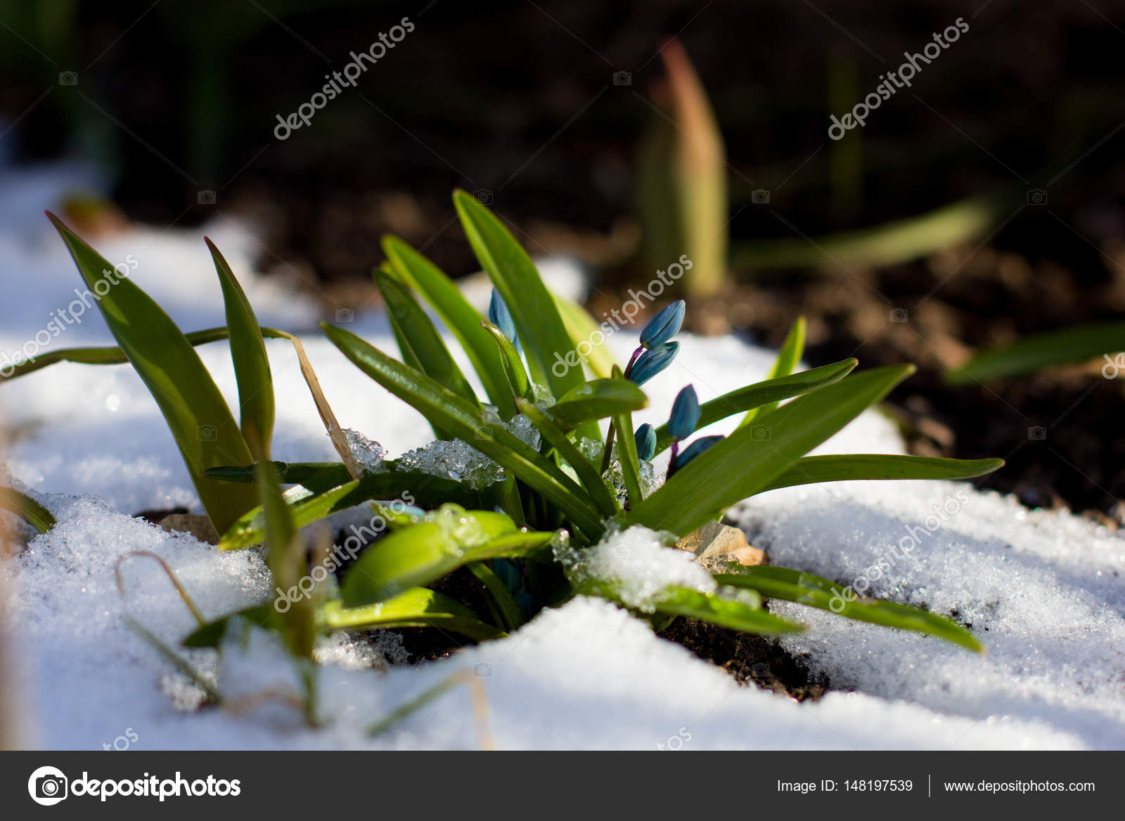 Erste Blumen Des Fruhlings Wachst Durch Schnee Im Sonnenlicht