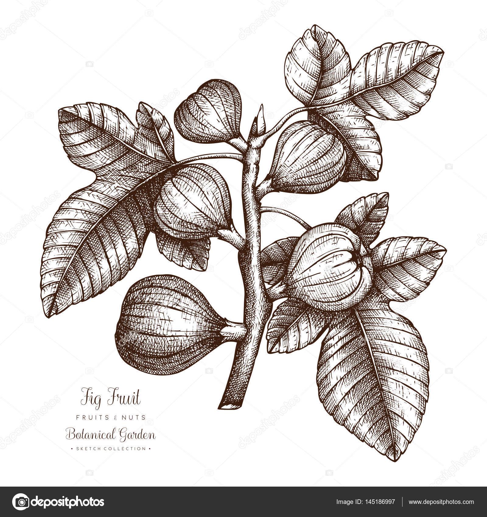 Incir Ağacı Botanik Illüstrasyon Stok Vektör Geraria 145186997