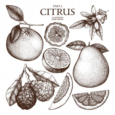 Vintage collection of  Ink hand drawn citrus