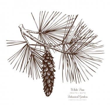 White Pine botanical illustration.