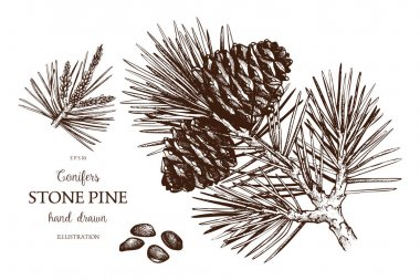 Vintage Stone Pine illustration.