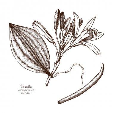 Vanilla plant sketch