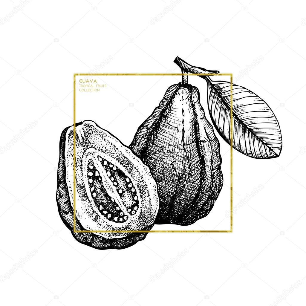 Guava hand drawn illustration.