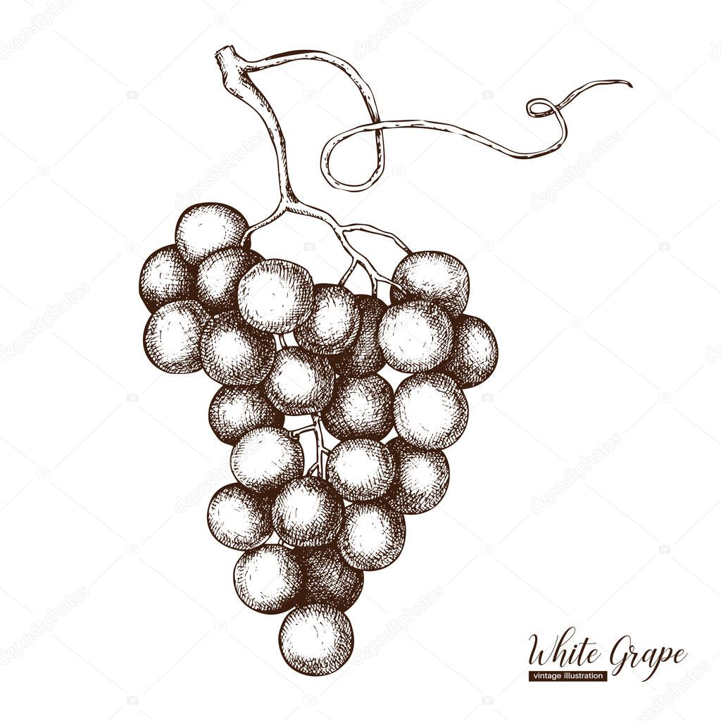 White grapes vintage sketch.