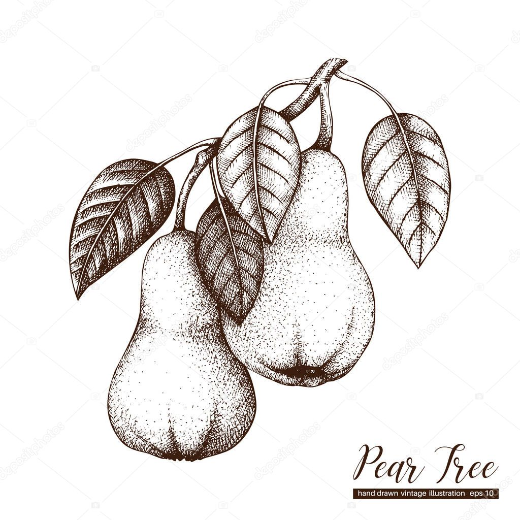 Vector pear vintage sketch