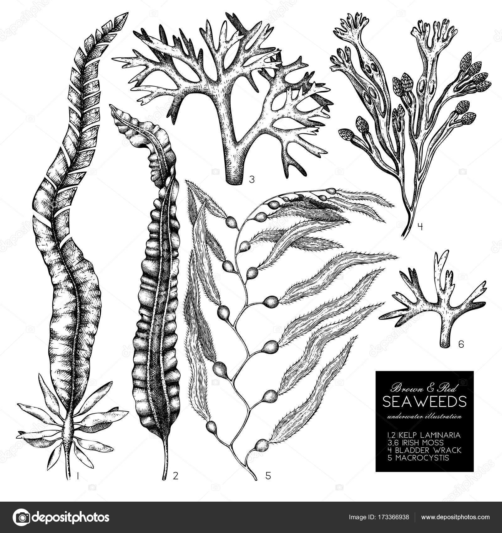 Illustrazioni Di Alghe Brune E Rosse Vettoriali Stock Geraria