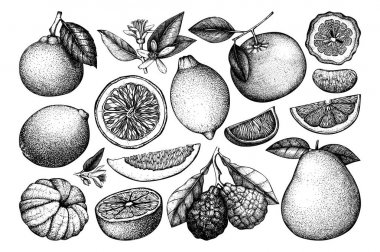 Vintage Ink hand drawn collection of citrus fruits. Vector drawings isolated on white background. Sketched illustration of highly detailed exotic plants outlines.