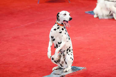 merry Dalmatian sits on red circus arena