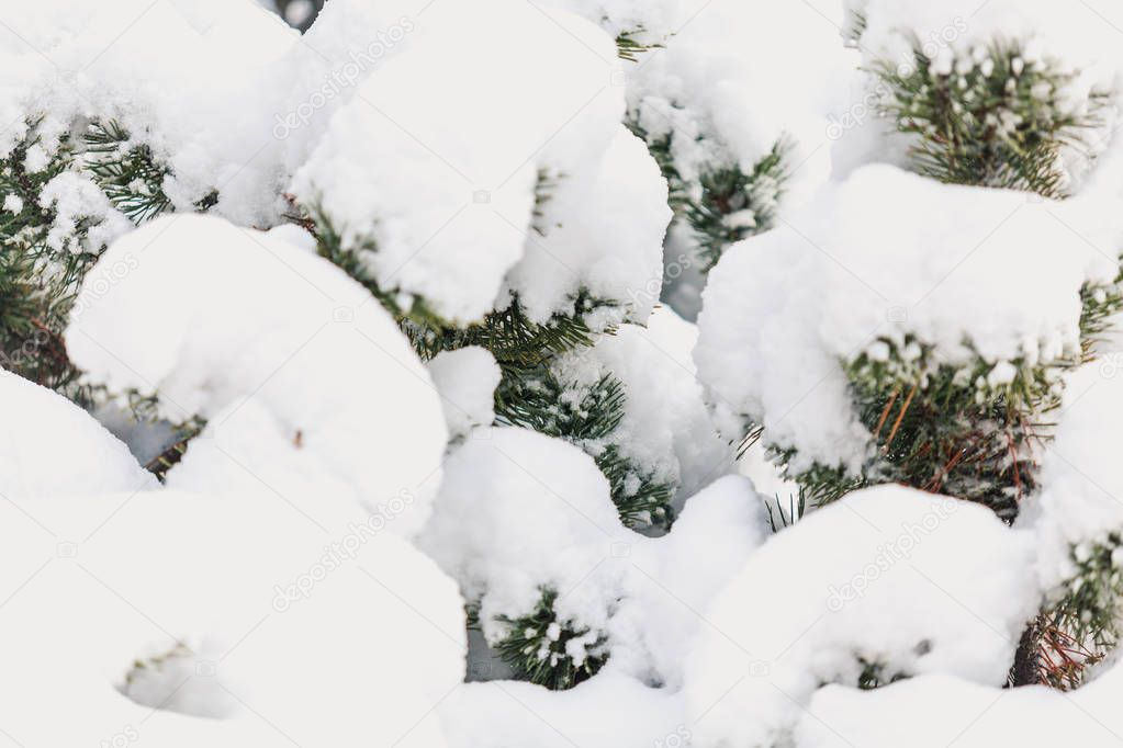 Winter nature. White fluffy snow lies on a spruce branc