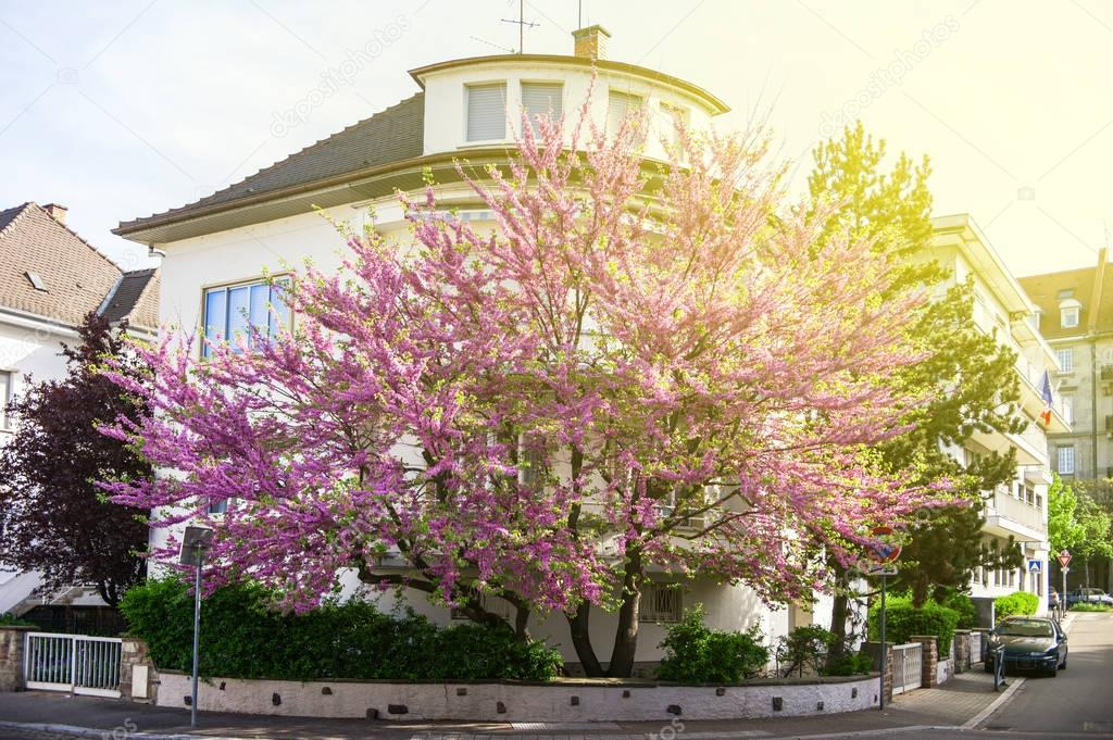 Judas Tree in purple bloom in front of a house residence