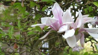 květ Magnolie na větvi