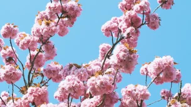 Krásný růžový třešňový květ, větve stromu sakura v květu proti jasné modré oblohy