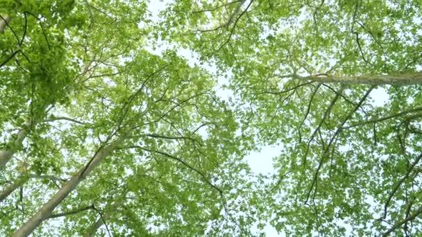 Korunách stromů Platanus pohybu pomalý pohyb ve 4 k uhd pohled zdola s krásnou sluneční erupce