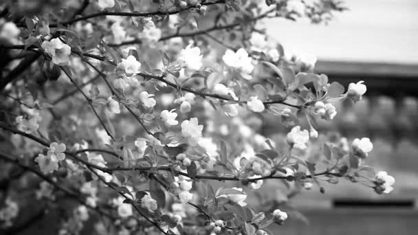 Apple tree in bloom with small ant climbing on branch, black and white