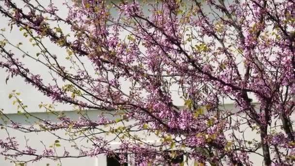 Jarní scéna s strom sakura blossom