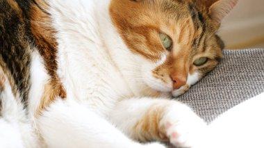 Getting asleep Cute adult cat sleeping on warm sunny day  on sof