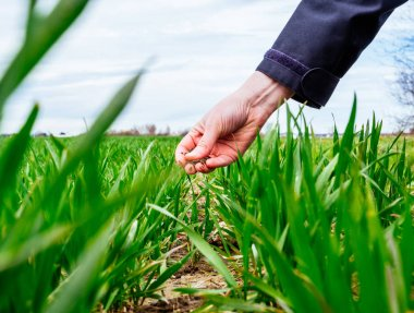 Professional female agronomist inspecting wheat plant harvest, soil composition