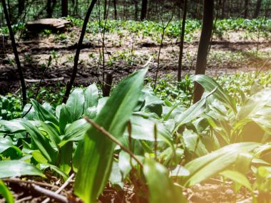 Spring medical nutritional plant and fresh, natural, wild-grown, bears garlic leaves in forest - Allium ursinum - known as ramsons, buckrams, broad-leaved garlic, wood garlic, bear leek or bears
