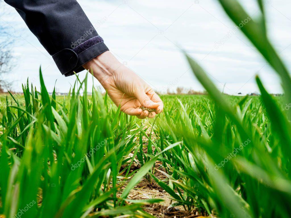 Hand of female agronomist inspecting soil for wheat plant harvest