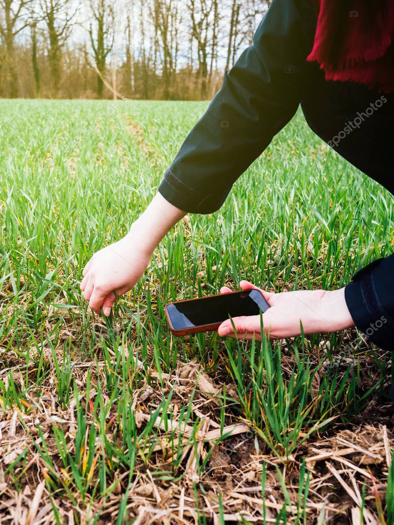 Modern technology used in agriculture concept, female agronomist inspecting wheat plant harvest
