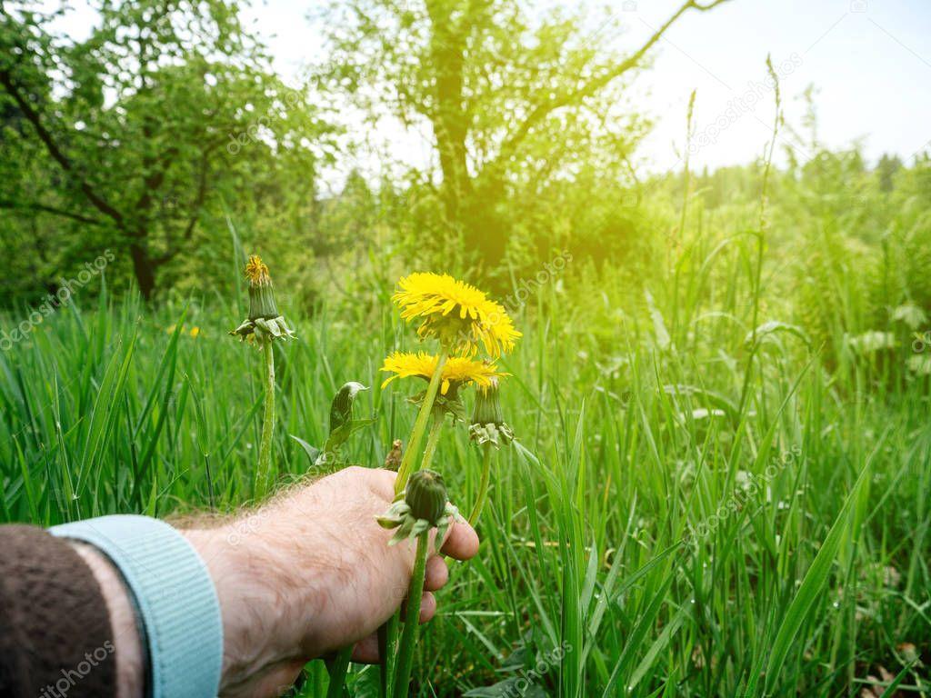Male hand POV piking in green field two huge dandelion
