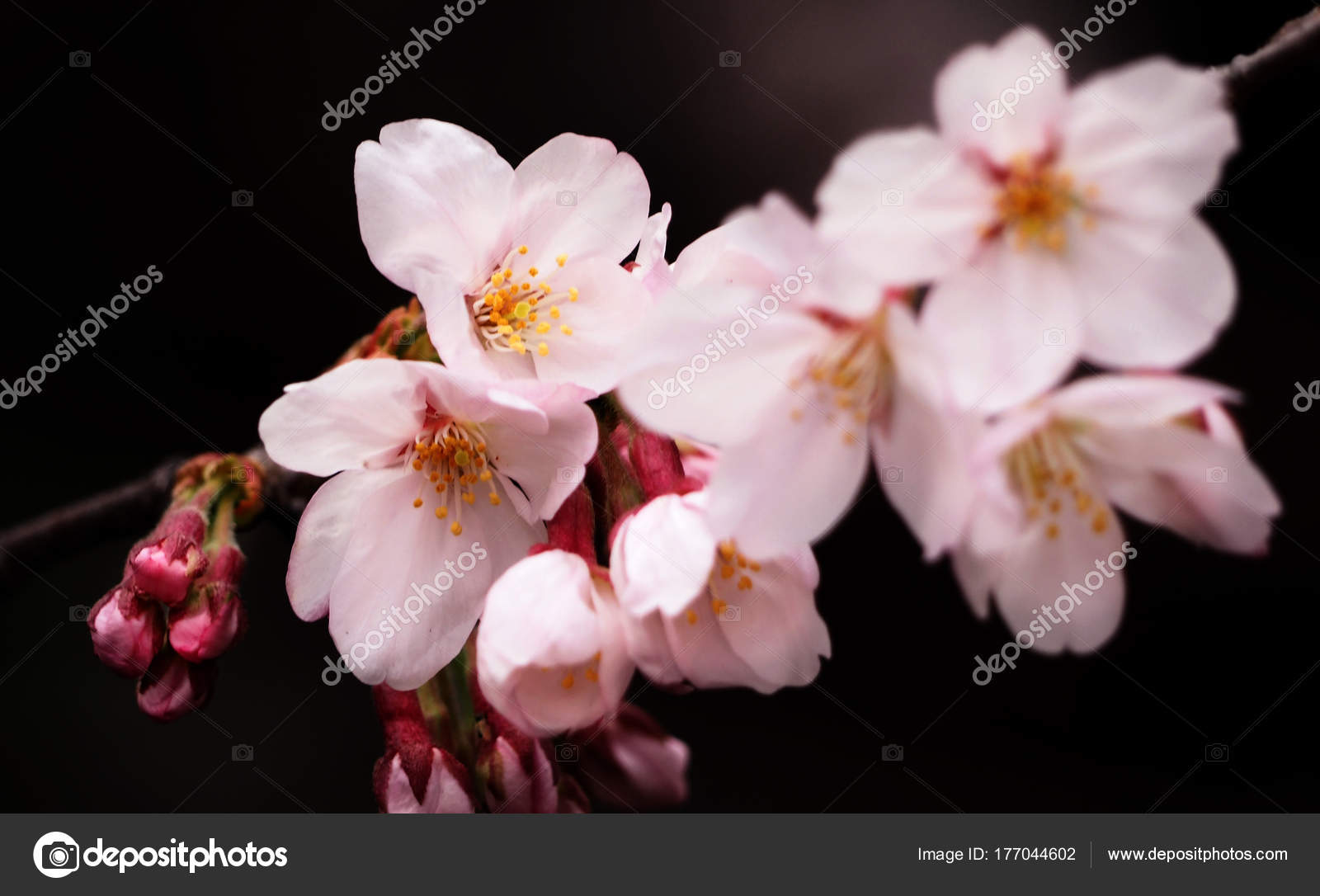 Real Pink Sakura Flowers Or Cherry Blossom Close Up Stock Photo