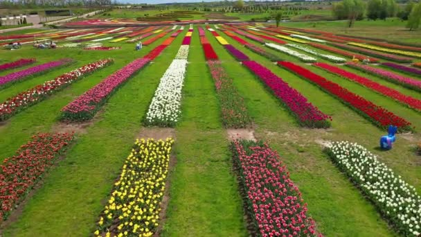 Park with fields of multicolored tulips, aerial shot.
