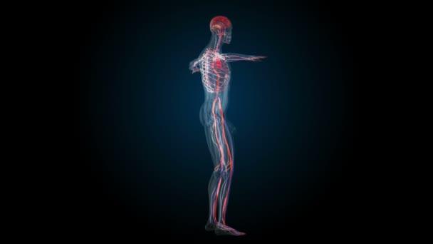 Todos los sistemas de cuerpo humano. Transición del cuerpo - sistema ...
