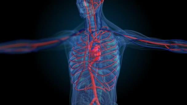 Alle menschlichen Körpersysteme. Körper - Herz-Kreislauf-System ...