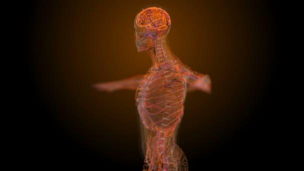 Männlichen anatomische medizinische scan — Stockvideo © a3art.ru ...