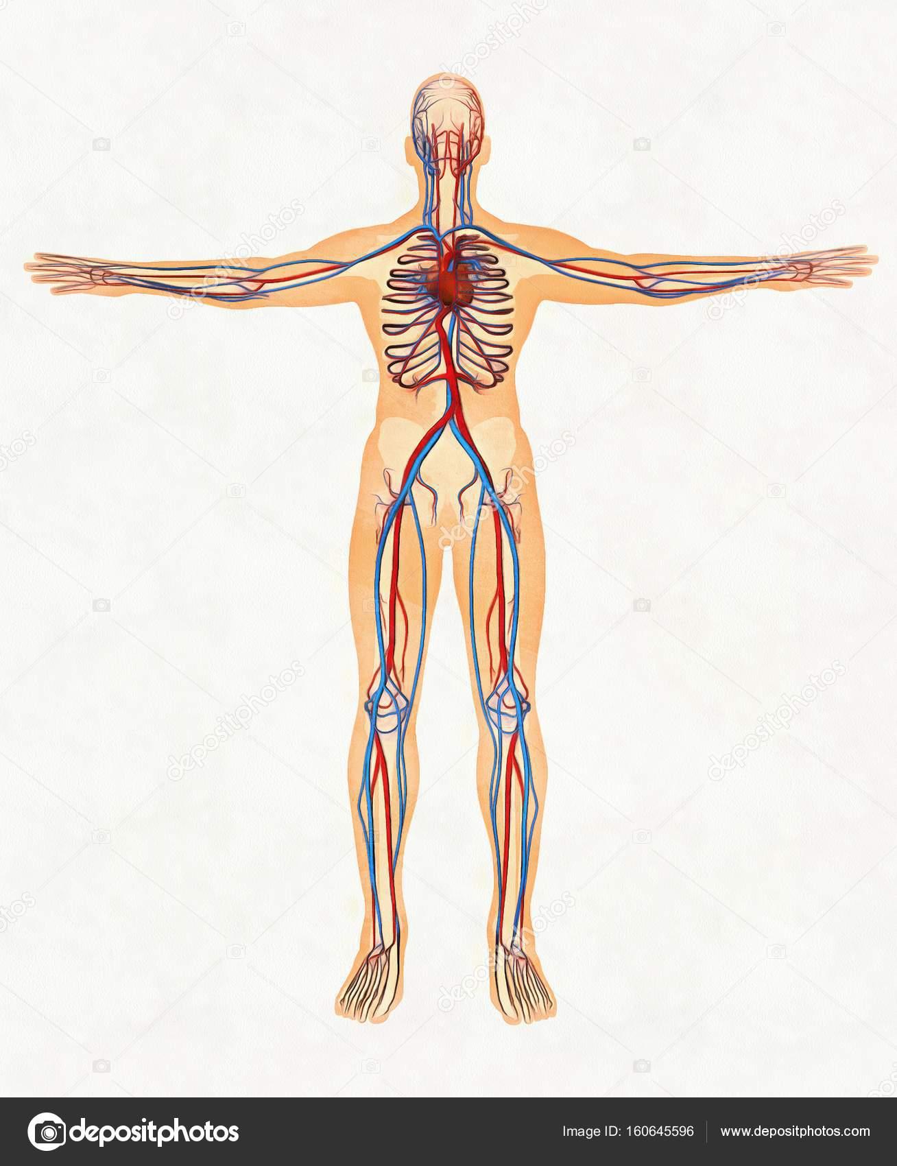Human Body And Circulatory System Stock Photo A3artail
