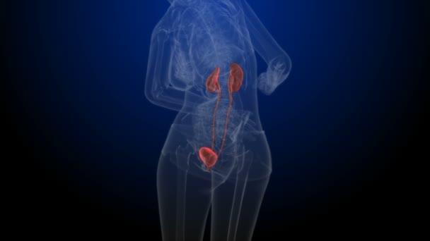 Human Body Organs Kidneys with Urinary Bladder . 3D