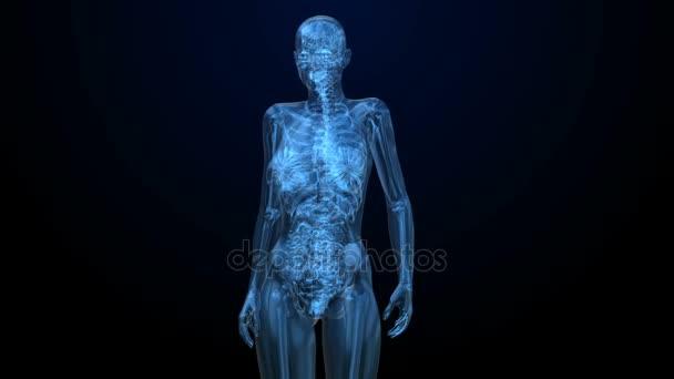 Weibliche Anatomie der Harnwege Organe im Detail Röntgen ...