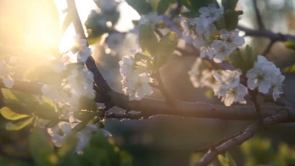 Květy bílé květy na Valachoch větve