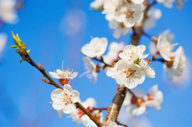 Blooming apricot tree branches