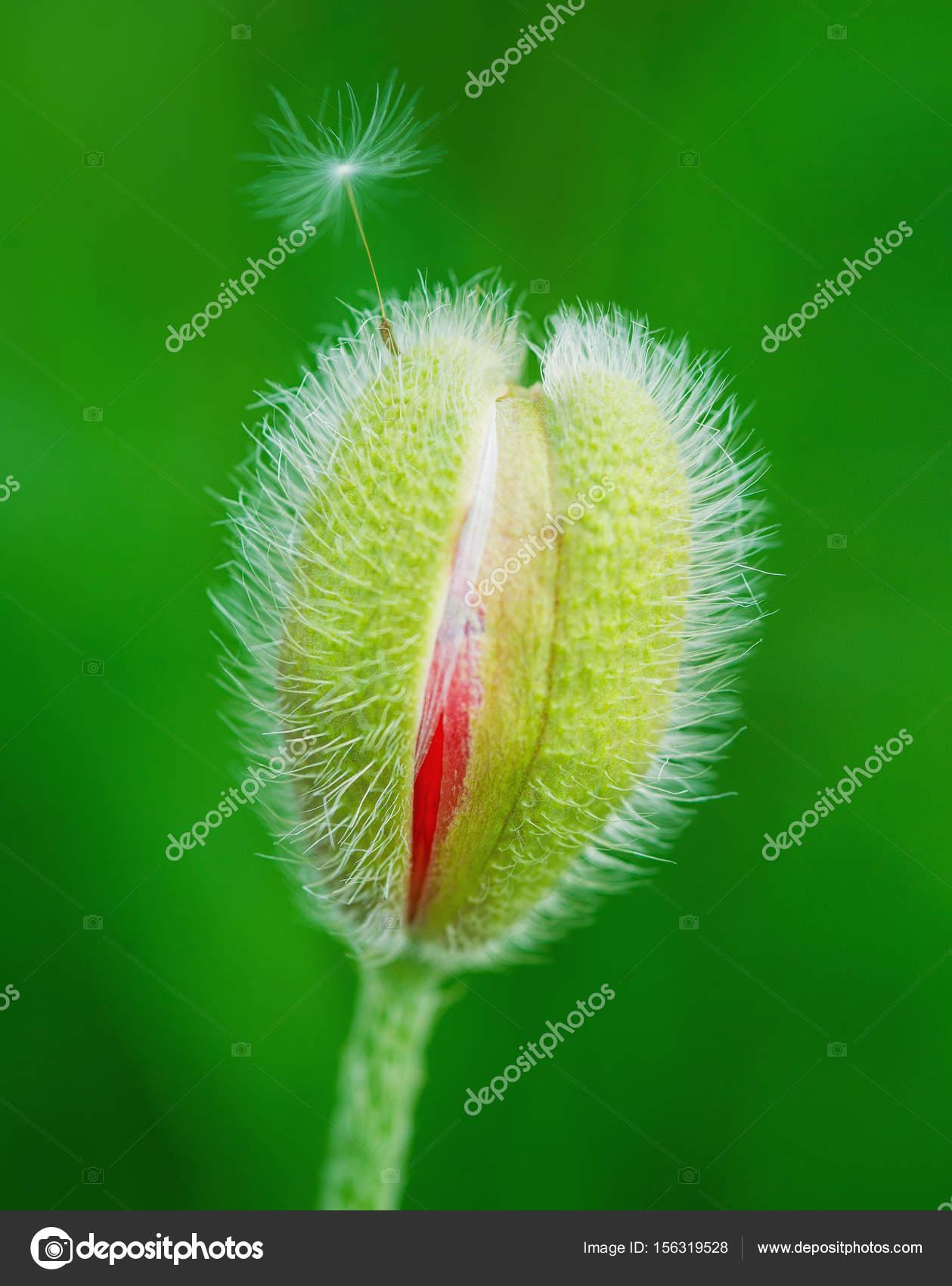 Poppy Flower Bud Stock Photo Zoiakostina 156319528