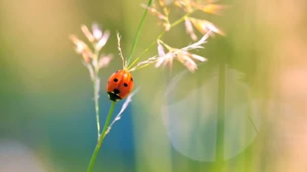 Ladybug in meadow