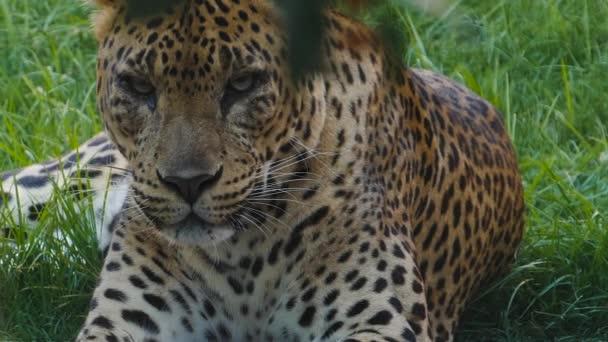 Dangereous exotic cheetah in captivity relaxing in sunshine