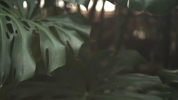 A Monstera növény zöld levelei