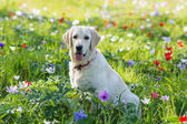 Golden Retriever Hunde sitting