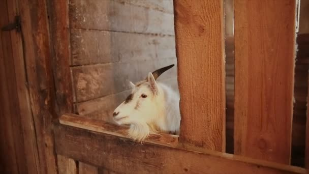 Die Ziege steht im tierischen stall