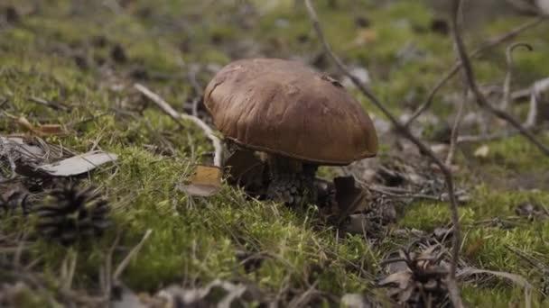 Closeup kilátás ehető erdei gomba barna sapka vargánya növekvő nyári erdő között, zöld moha. Közelről gomba erdőben természet zöld háttér. Ehető gomba fával.