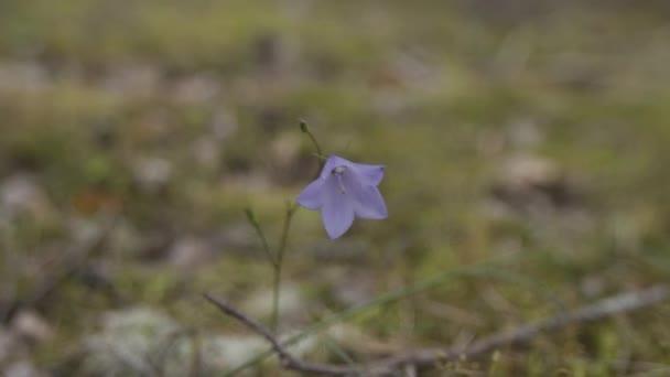 Osamělá modrá květina na poli. Makro snímek.