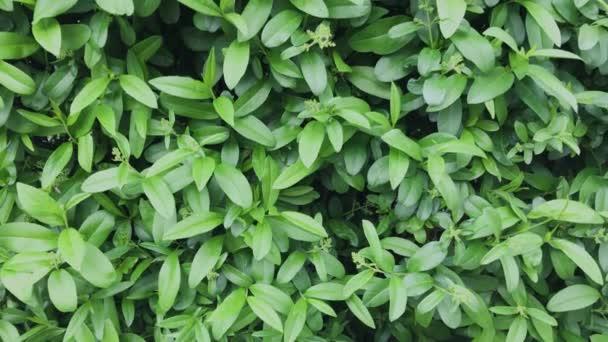 Krásné zelené listy keře.