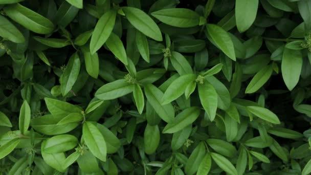 Schöne grüne Blätter eines Busches.