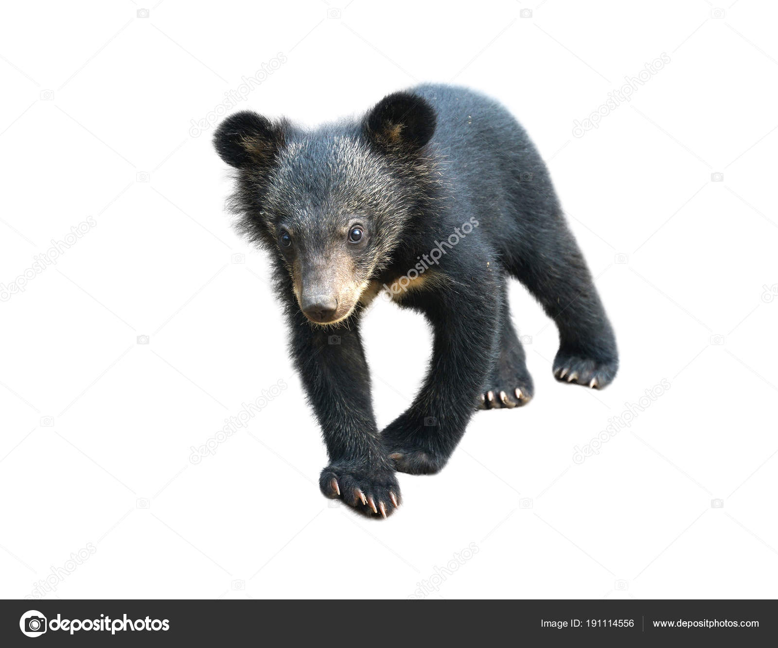 young asiatic black bear isolated stock photo anankkml 191114556