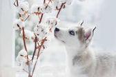 Husky štěně sniffs bavlny větve