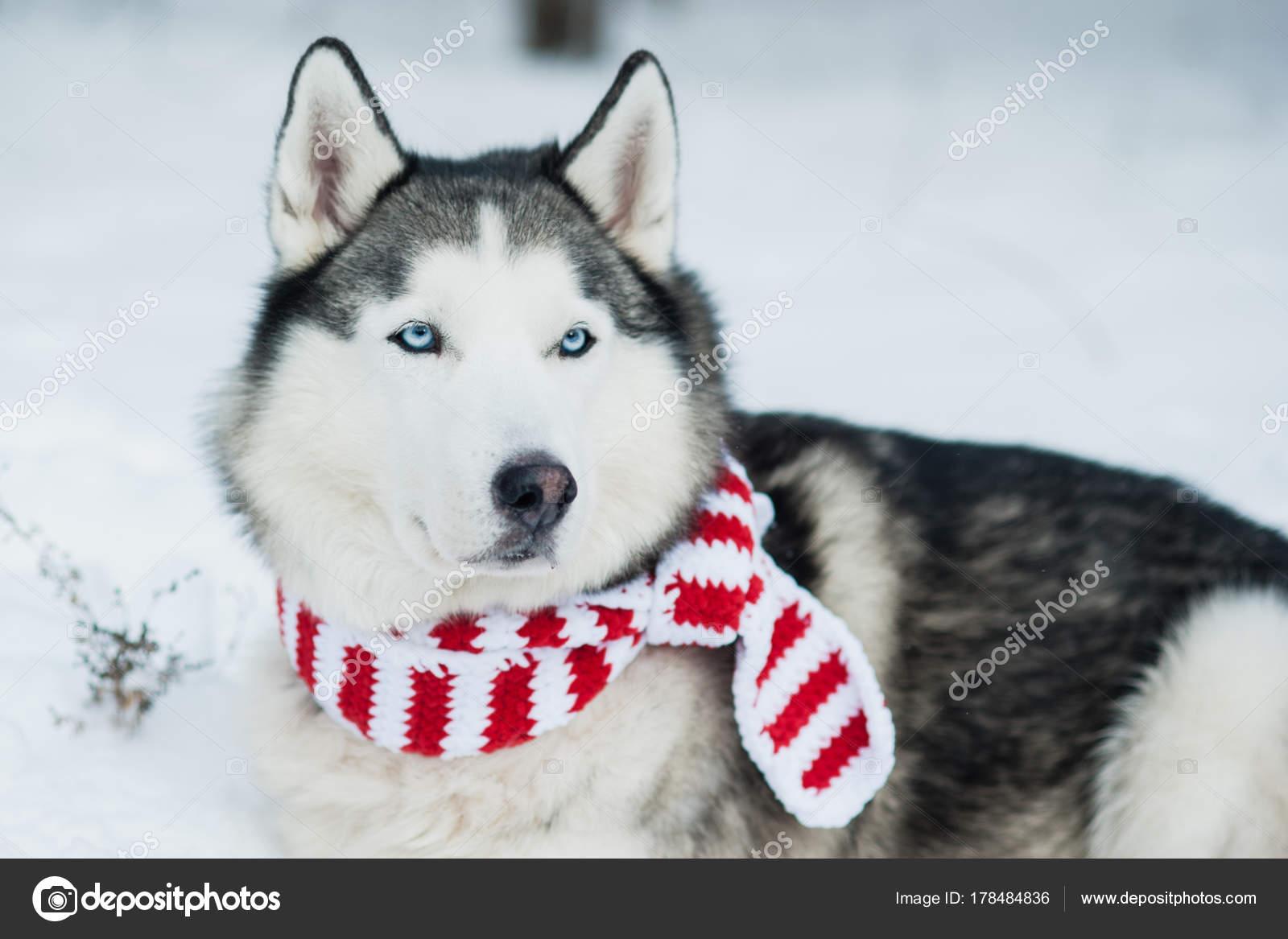 Hund husky in Weihnachten Schal auf Schnee. Symbol des neuen Jahres ...