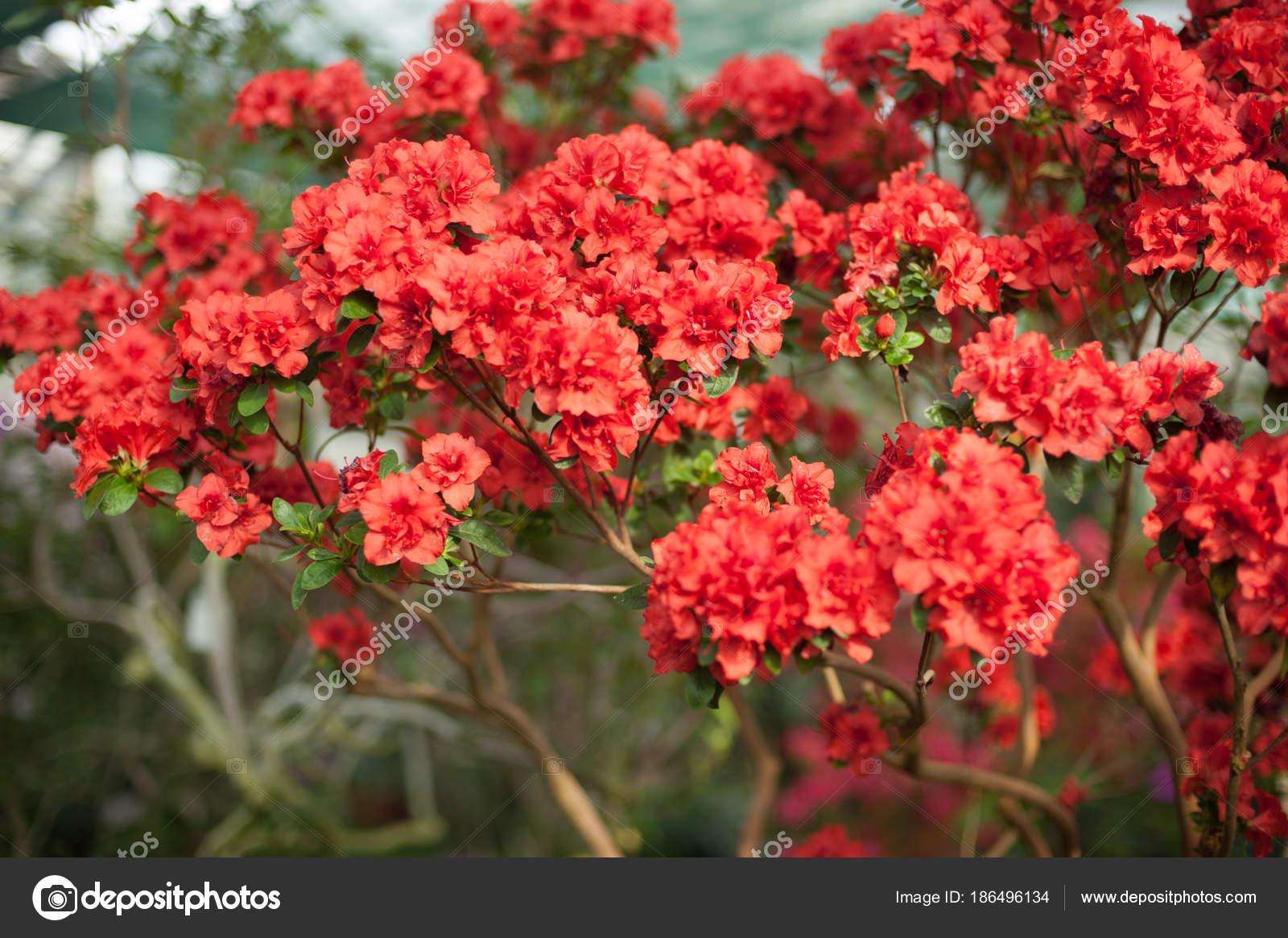 Bluhende Hybrid Azalia Rhododendron Hybridum Auswahl In Einem